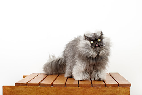 Colonel-Meow---Cat-With-The-Longest-Fur_0022-(1).jpg
