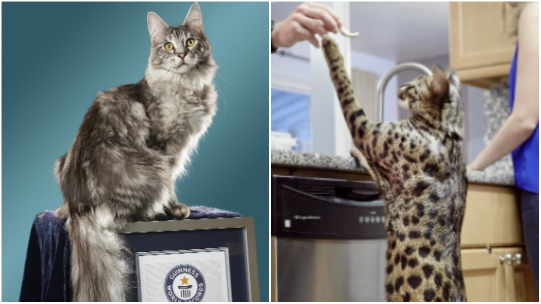 Arcturus and Cygnus: Tallest cat and kitty with the longest tail have died after house fire
