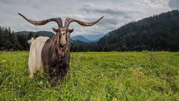 Video: Meet Rasputin - the goat with the largest horn spread