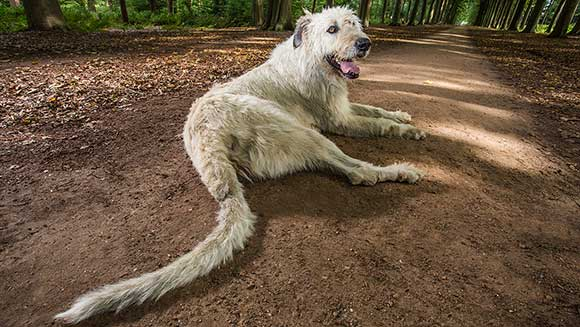 Video: Meet the Irish wolfhound who boasts world's longest dog tail
