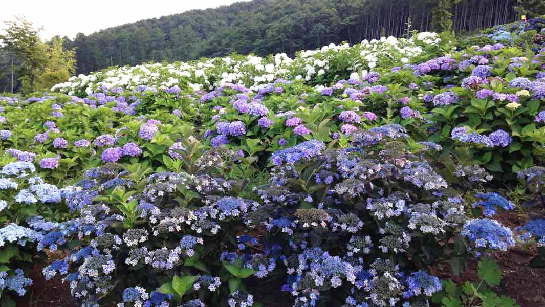 How an act of goodwill has turned into a record-breaking hydrangea park