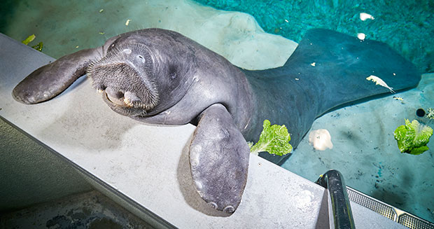 Oldest manatee eating lettuce