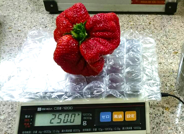 heaviest-strawberry-weighing