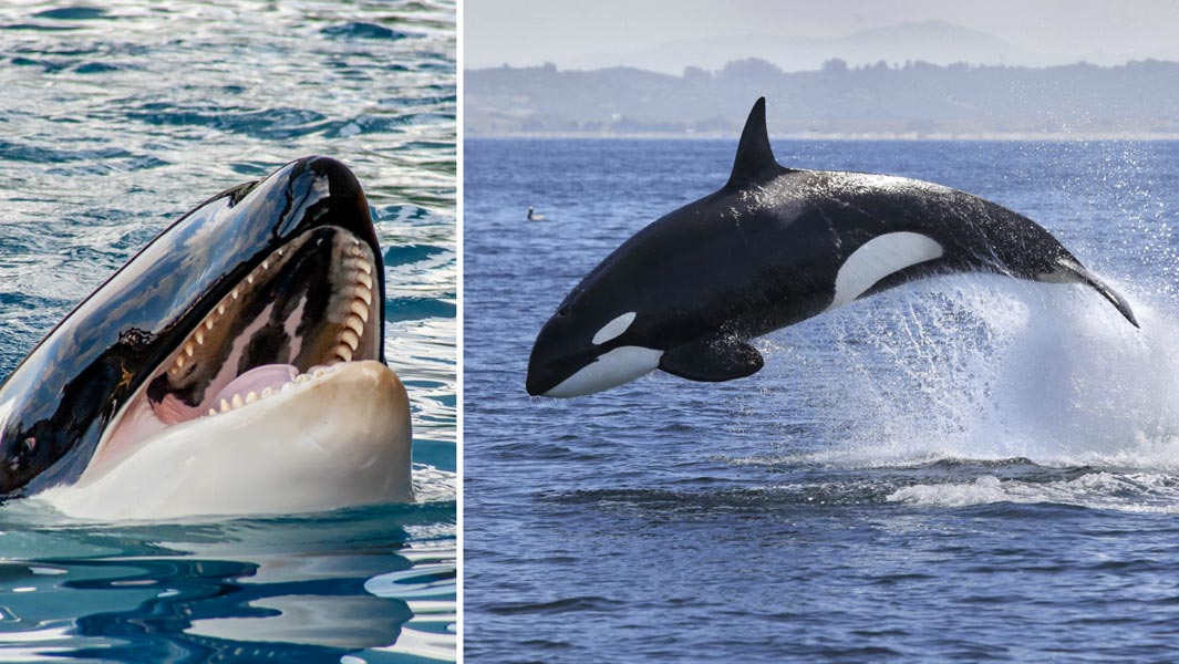 The animal from which great whites flee: 5 killer records ...