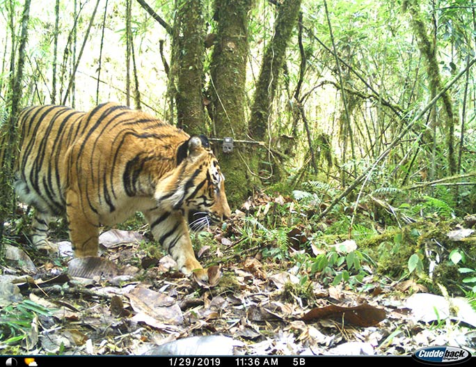 International Tiger Day 2020: All You Need To Know About India's Success