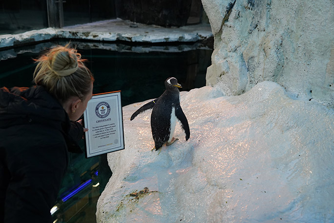 Zookeeper Sandie Munck presents Olde with her official Guinness World Records certificate as the world's oldest living penguin in captivity