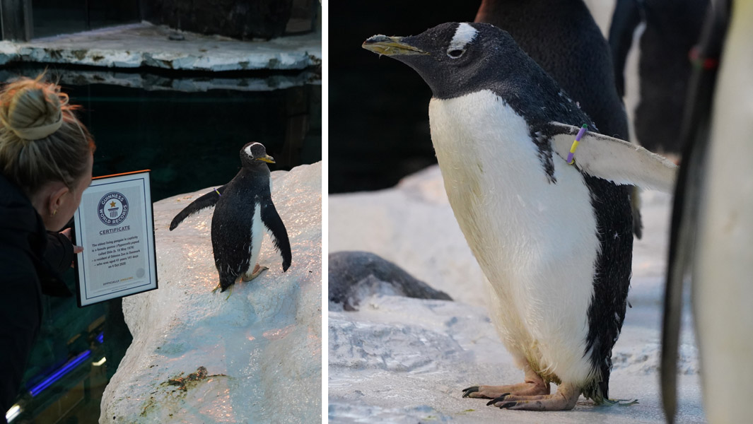 41-year-old-olde-at-odense-zoo-the-worlds-oldest-living-penguin-in-captivity