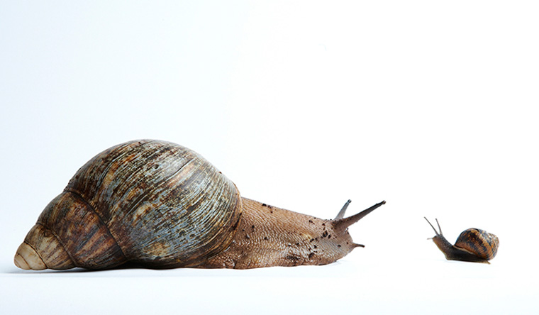 The African Giant is the largest snail