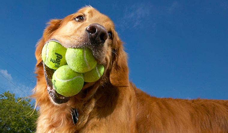 Golden retriever Augie holds the record for most tennis balls held in the mouth with 5