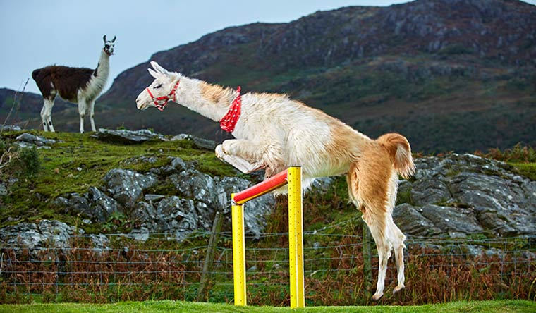 Caspa has the highest jump cleared by a llama with a leap of 1.13 metres