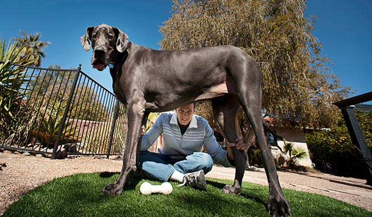 Giant George was the tallest dog ever from 2010 to 2011