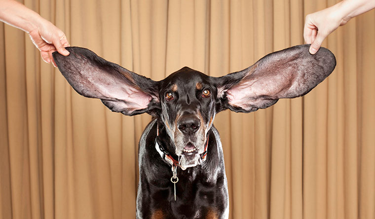 Harbor has the record for the dog with the longest ears (living) with ears measuring 31.1 cm (12.24 in) and 34.3 cm (13.5 in) for the left and right, respectively