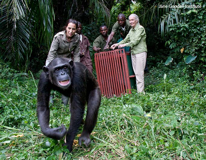 Dr Jane Goodall and Dr Rebeca Atencia release chimpanzee Wounda back into the forest at the Tchimpounga Chimpanzee Rehabilitation Centre in the Republic of the Congo. This sanctuary for orphaned chimps and those affected by the pet and bushmeat trade was opened by the JGI in 1992