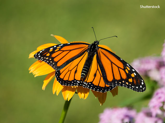 People travel from all over the world to see the monarch butterflies over-wintering in the mild forests of Mexico