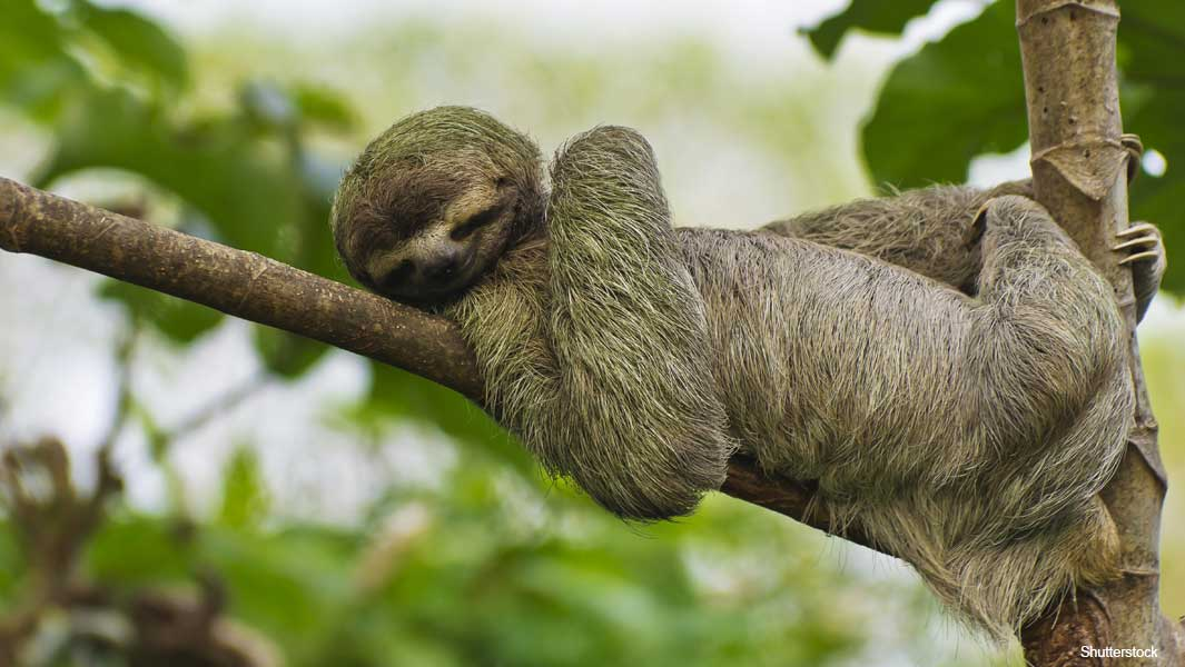 Life in the slow lane: three amazing sloth records | Guinness ...