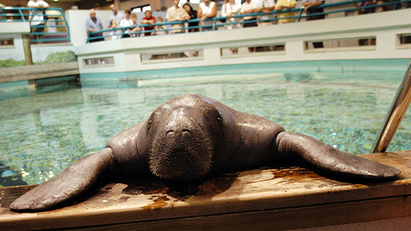 Happy 67th birthday to Snooty - the world's oldest living manatee