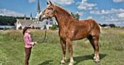 Big Jake the world's tallest horse