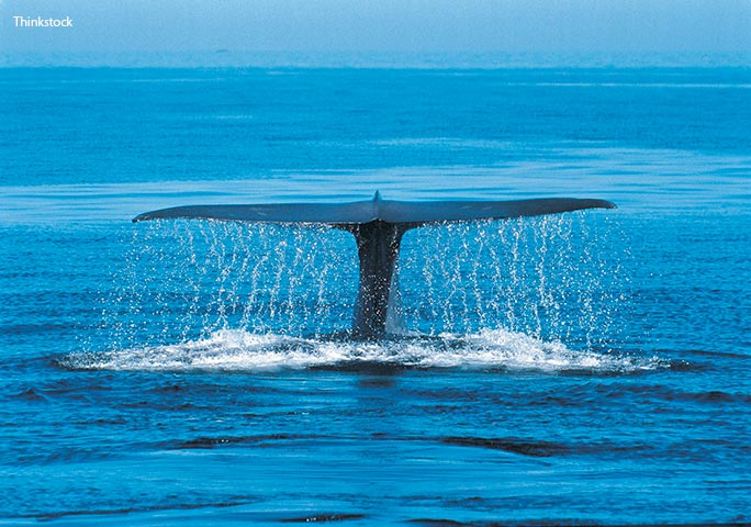 The record-setting anatomy of the blue whale: a look inside the