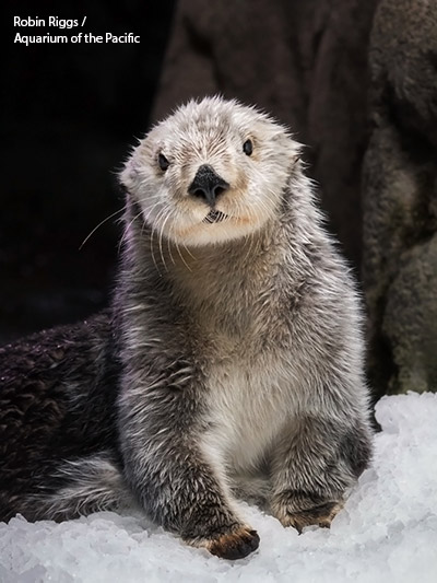charlie-the-sea-otter