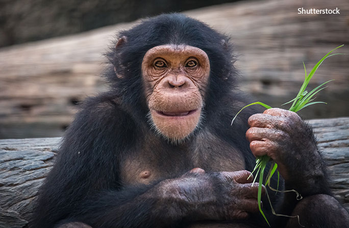 closest-living-relative-chimpanzee