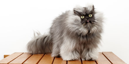 Colonel Meow used to have the longest fur on a cat