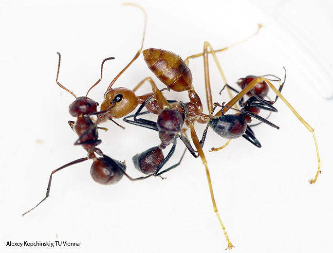 colybopsis-exploding-ant