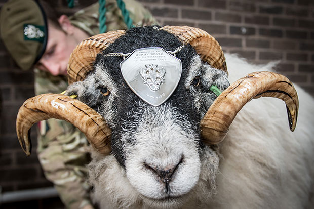 highest-ranking-sheep-silver-plate