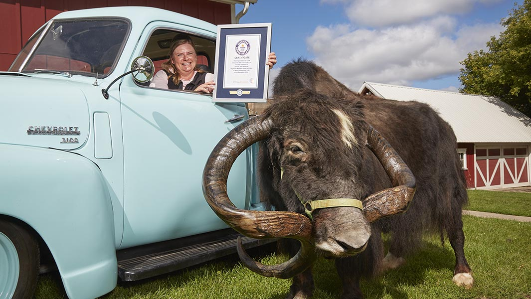 Yak with the longest horns pokes his way into Guinness World Records 2021