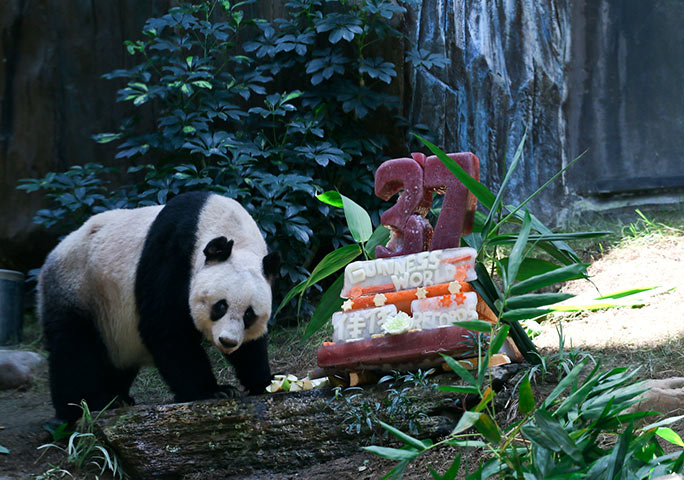 Jia Jia with a special cake to mark her 37th birthday