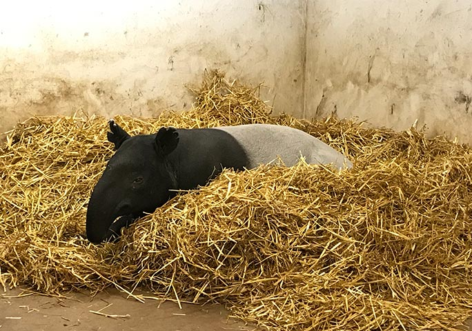 The tapirs at Port Lympne each have their own heated 'bedroom' stall