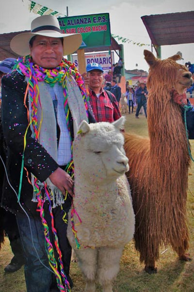 Largest parade alpacas two