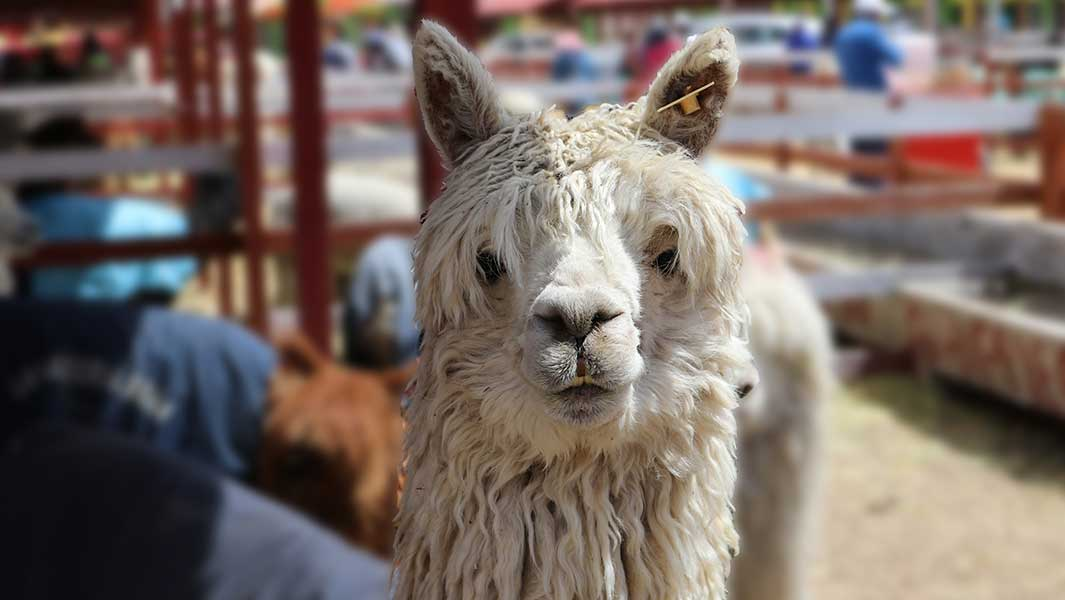 In pictures: Army of alpacas set a new record in Peru