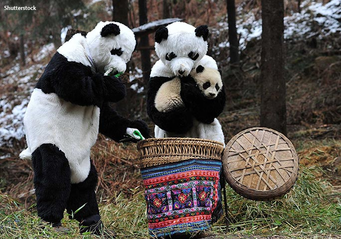 At Hetaoping panda base, any interaction between the staff and the animals is conducted wearing bear suits that have been doused in panda pee!