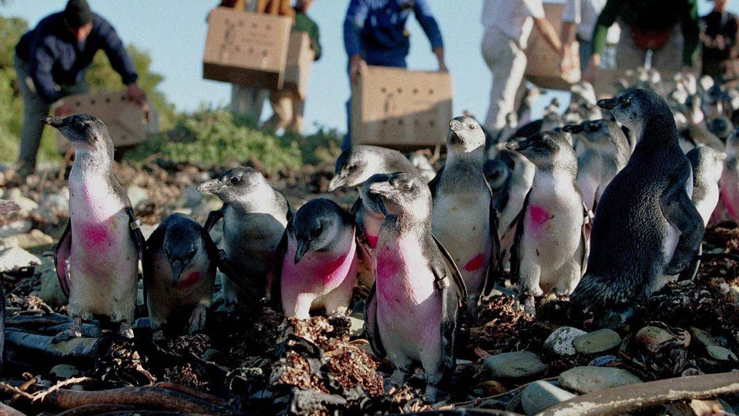 "The great penguin rescue: an interview with ""The Penguin Lady"" who helped to save 40,000 birds"