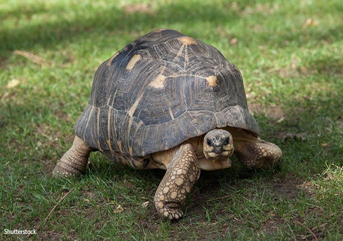The oldest chelonian on record is a radiated tortoise (example shown here)