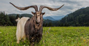 Rasputin the goat lives in Austria and has the largest horn spread on a goat