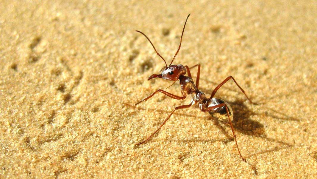 World's fastest ant gallops into the record books, clocking 20 times Usain Bolt's top speed