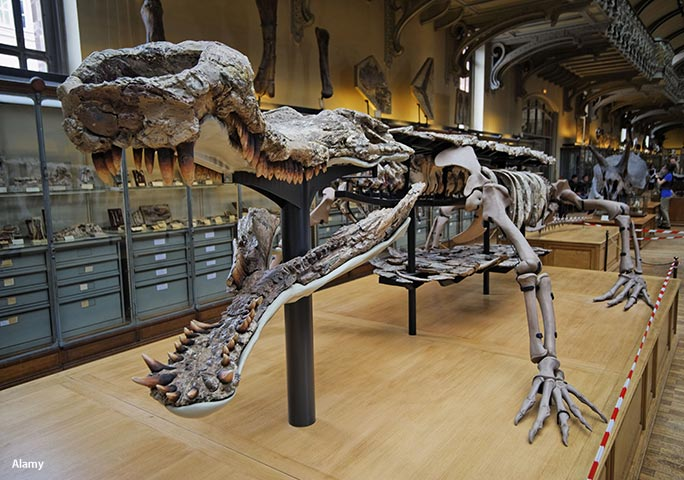 A Sarcosuchus skeleton on display at the National Museum of Natural History in Paris, France