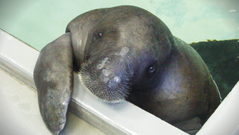 Snooty, the world's oldest manatee dies aged 69