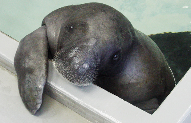 snooty-cute-manatee-oldest-guinness-world-records