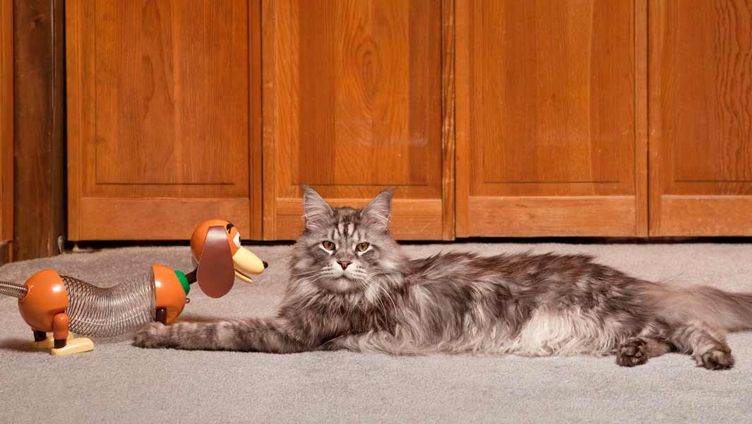 A history of big cats as another Maine Coon becomes the world's longest feline