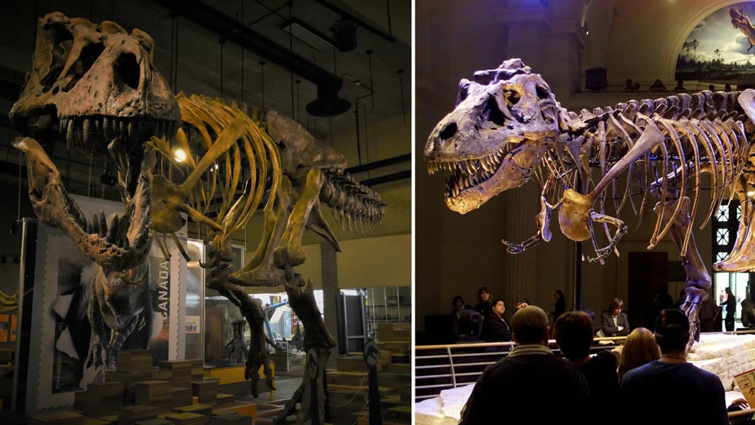 Scotty: the dinosaur skeleton which is a contender for the