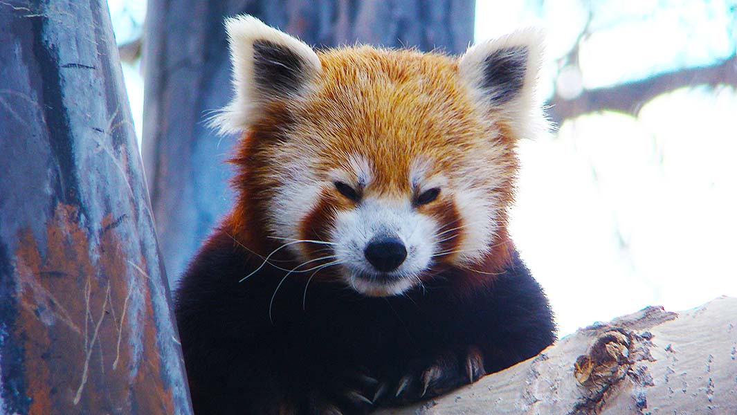 Remembering Taylor: The world's oldest red panda