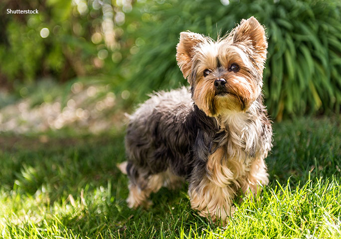 It's not all about Chihuahuas… A Yorkie (example pictured) holds the all-time record among documented smallest dogs