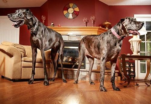 World S Tallest Female Dog Morgan Passes Away Guinness