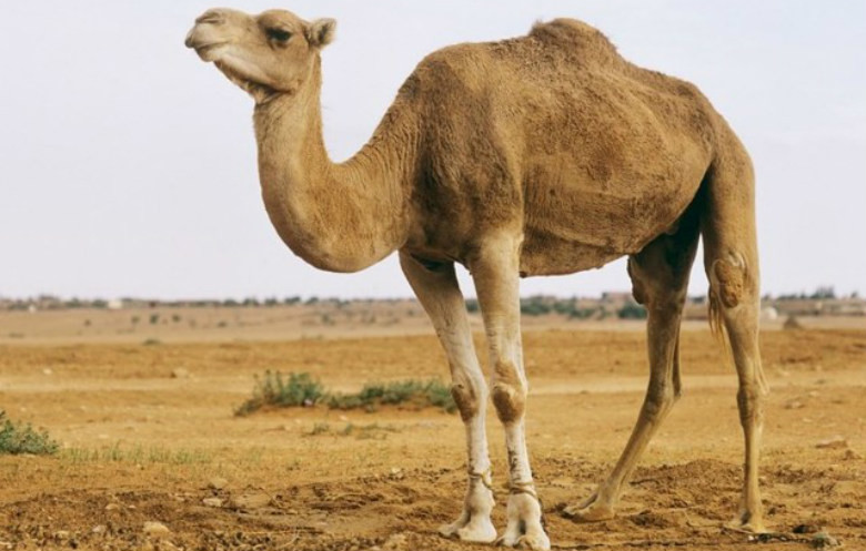 Largest species of camel