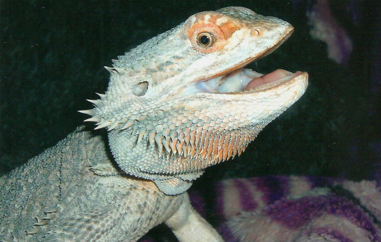Oldest bearded dragon in captivity ever