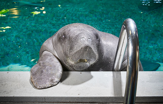 Oldest manatee in captivity
