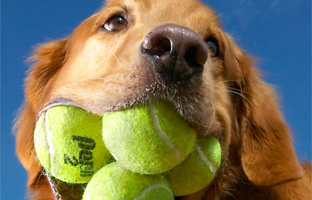 Most tennis balls held in the mouth - dog