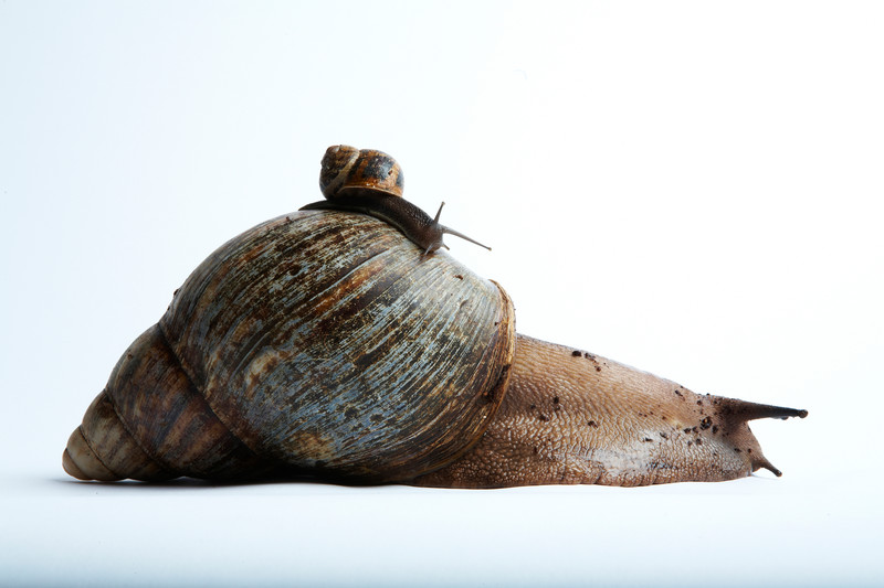 Largest land snail